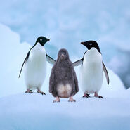 Adelie-penguins-with-chick