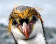 Royal Penguin Face