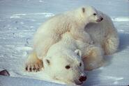 Ursus maritimus Polar bear with cub 2