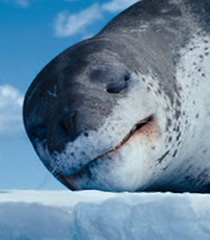 Leopard-seal-happy-feet-two-40