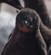 Happy Adelie Penguin Chick