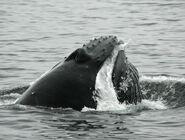 Humpback whale Robert Pitman NOAA PS9