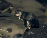 20091121 Little Penguin on rock at St Kilda Breakwater (left side view)