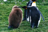 King penguin and a chick