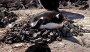 Gentoo penguin (Pygoscelis papua) on nest