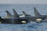 Orca pod southern residents