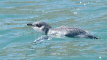 1200121Little Penguin white-flippered 20121223 Akaroa Harbour NZ 7