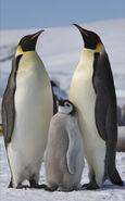 Aptenodytes forsteri -Snow Hill Island, Antarctica -adults and juvenile-8