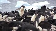 Adelie Penguins in Paulet Island