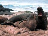 Elephant Seal/Gallery