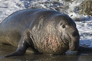 Northern Elephant Seal, Piedras Blancas, San Simeon, CA 02feb2009