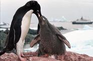 Antarctic adelie penguins (js) 21