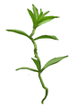 Fluxweed.png