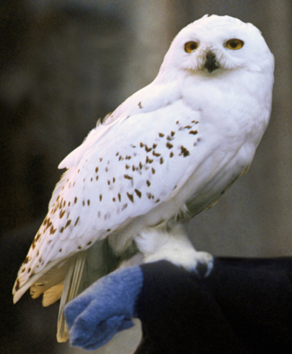 Owl first released from the cage