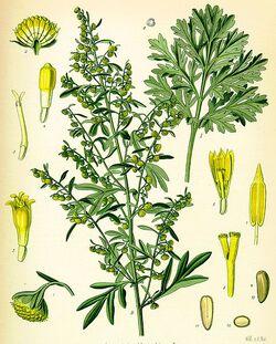 Artemisia absinthium - Köhler–s Medizinal-Pflanzen-164