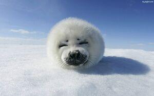 Mloda-foczka-biala