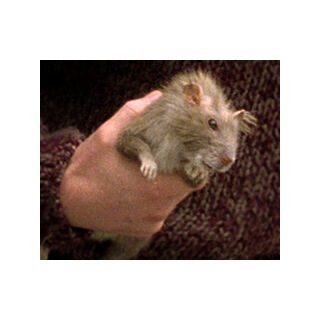Питер в виде крысы