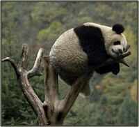 Spiaca panda 2014-06-22 14-08-17