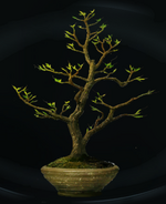 Wiggentree sapling