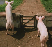 Weasley family pigs