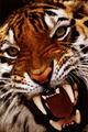 Bengal-tiger-close-up.jpg