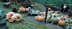 Pumpinks Hagrid POA 1