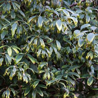 Листья бадьяна