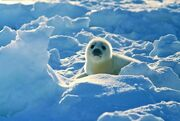 Mala foczka