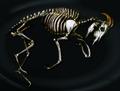 Goat skeleton.png