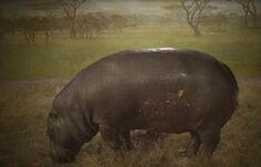 Obraz hipopotama