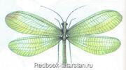 Zlatoglazka-perlamutrovaya