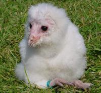BabyBarnOwl