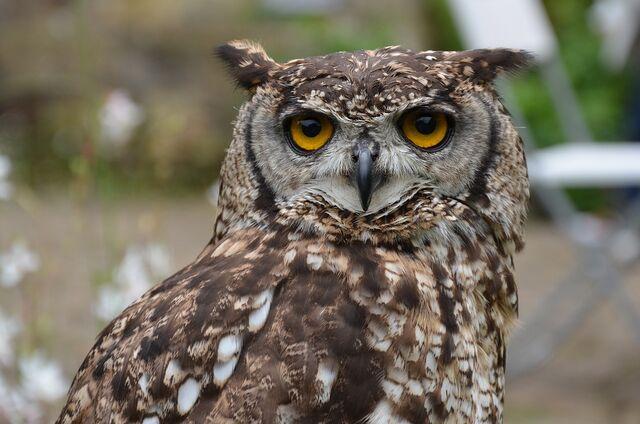 File:Brown-owl-1208028 960 720.jpg