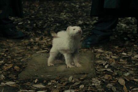 Draco-ferret
