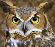 Owl-Great Horned