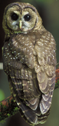 Owl-Spotted