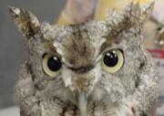 Owl-Screech