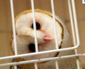 Maya Owl