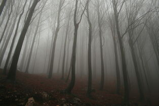Dence foggy forest