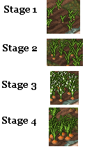 Carrot stages