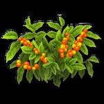 Coffee Bush Harvest 2