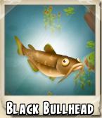 Black Bullhead Photo