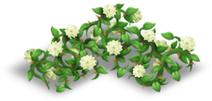 Recinto di rose bianco