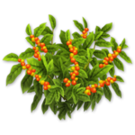 Coffee Bush Harvest 3