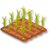Corn Stage 2