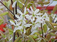 240px-Amelanchier grandiflora2
