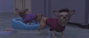 Chihuahuas-1-2