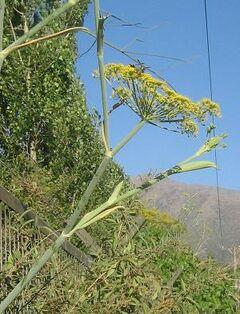Foeniculum vulgare 06