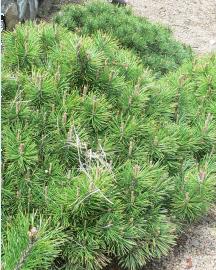 Pinusmugo