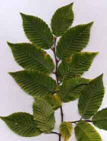 Carpinus foliage